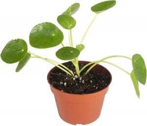 terrarium chinese money plant