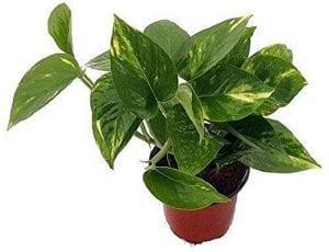 golden pothos closed terrarium plant
