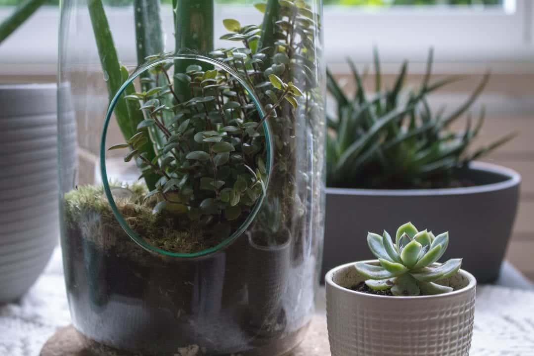 easiest edible terrarium plants to grow