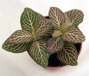 Pink Nerve Plant Fittonia Terrarium plant best