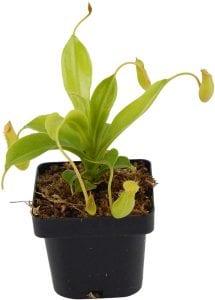 pitcher plant carnivorous terrarium plants