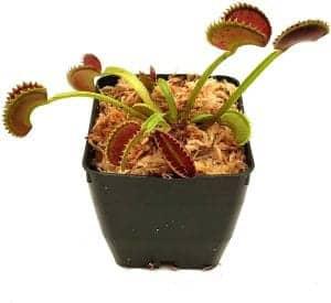venus flytrap carnivorous terrarium plants