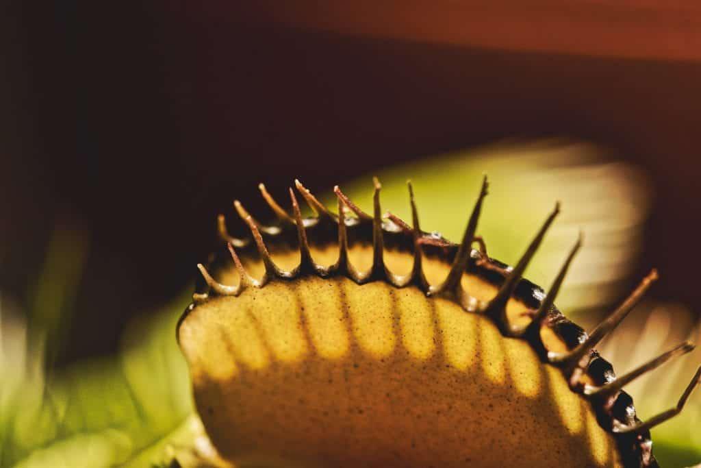 venus fly trap terrarium plant