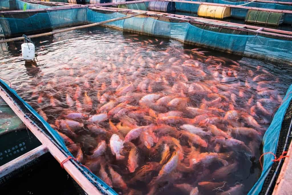 self-sustaining tilapia farm