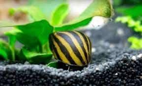 best nerite snails jarrariums