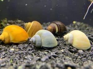 mystery snail jarrarium