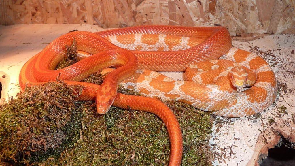 Do Snakes Need a Bioactive Terrarium?