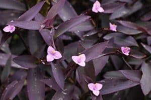 where to buy Tradescantia Purpurea Purple Heart Plant