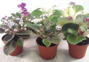 where to buy African Violet