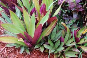 where to buy Rhoeo Spathacea