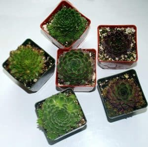 where to buy Pacific Shadows Succulents