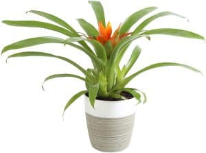 Costa Farms 12-inch Flowering Bromeliads review